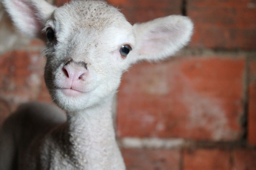 Funny Little Lambs4 [cute photos]