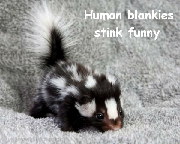 Baby Skunk Sniffing [cute photo]