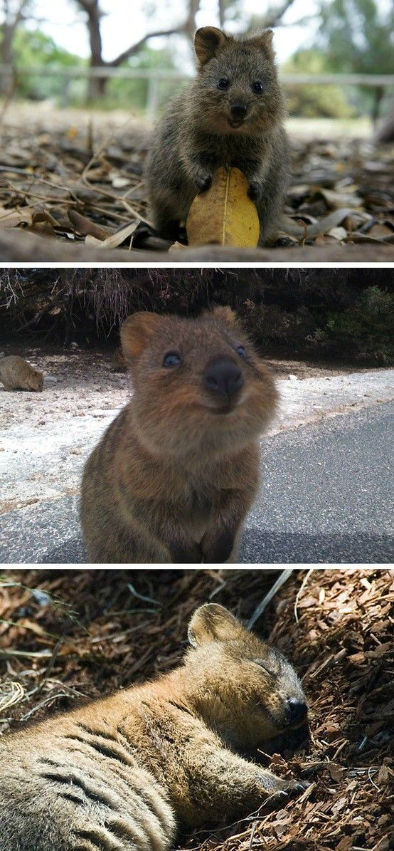 Meet the Quokka - the happiest animal in the world [photography]