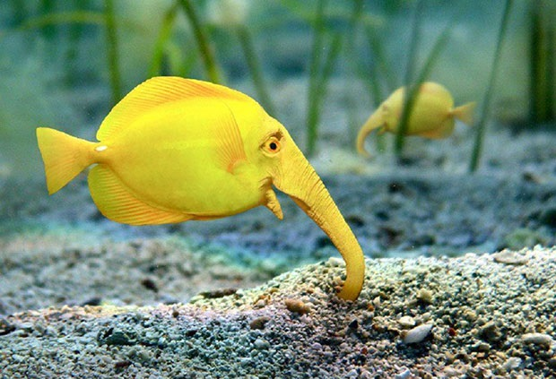 Amazing Yellow Elephant Fish [photograhy]