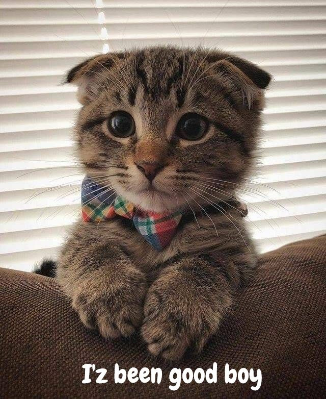 Good Boy Waiting for Santa [Cute Scottish Fold]
