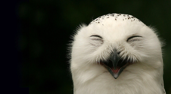 Happy Snowy Owl