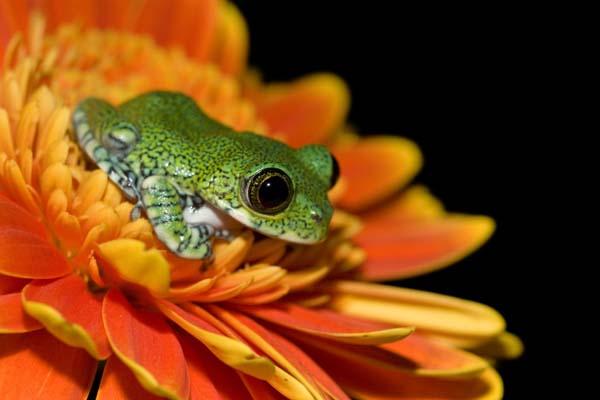 Peacock Frog on Orange Flower