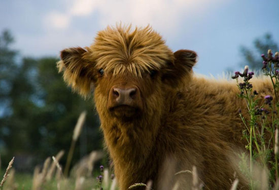 Highlander Calf