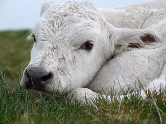 One Day Old Calf