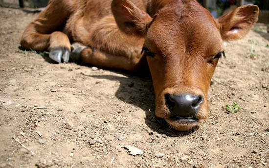 Freedom: Calf Sleeping Is Serious Business