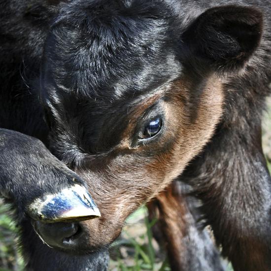 Camera Shy Calf
