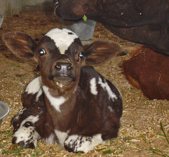 Very Cute Calf