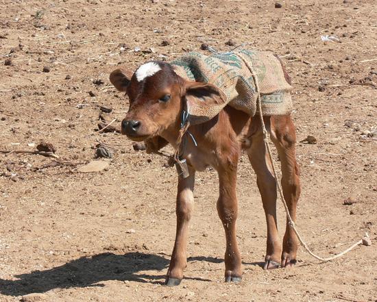Cute Tiny Calf