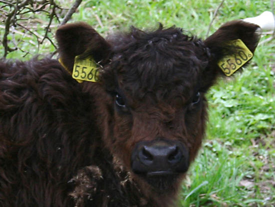 Cute Fluffy Calf