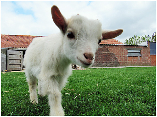 Baby Goat Coming Close