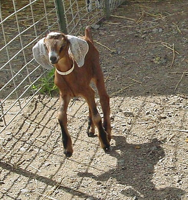 Special Baby Goat