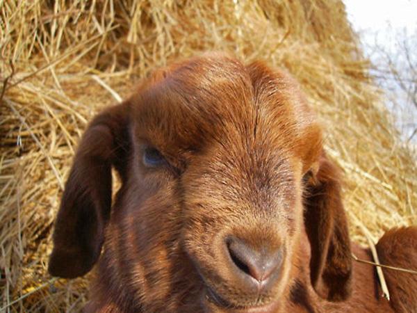 Bunny-like Baby Goat