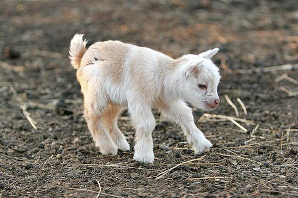 Baby Goat Gif Hi, it is i, the cute goat