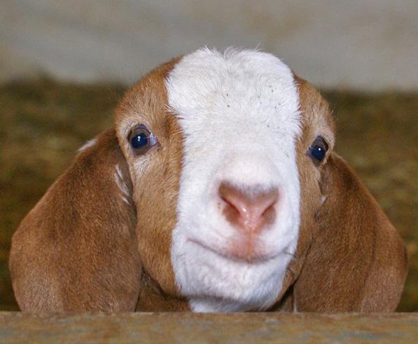 Hi, it is I, the Cute Goat