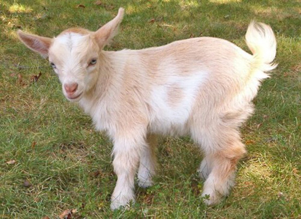 Baby Goat with Blue Eyes