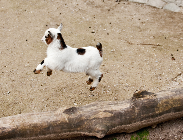 Baby pygmy goat jumping - photo#2