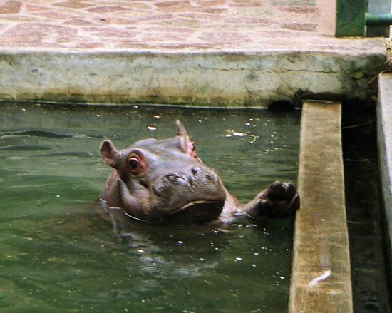Hello Baby Hippopotamus
