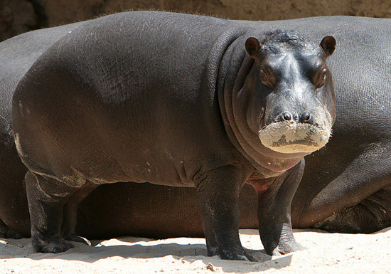 Baby Hippo at Werribee Zoo