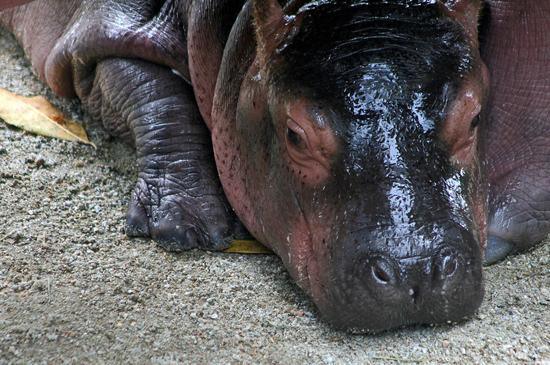 Sad Baby Hippo
