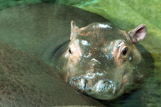 Baby Hippo Splash