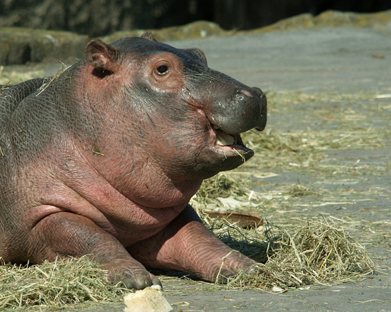 Happy Baby Hippo