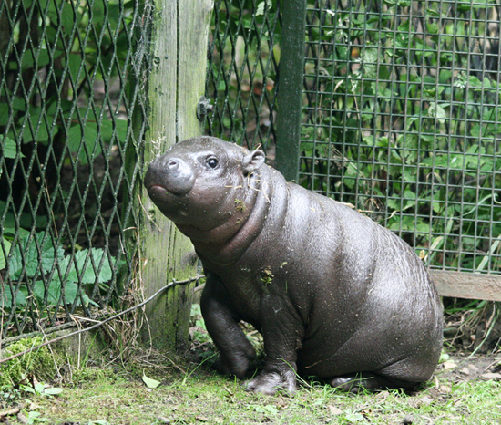 Leishan the Baby Pygmy Hippo