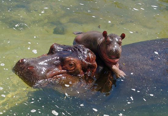 Karen & Baby Boopie the Hippos