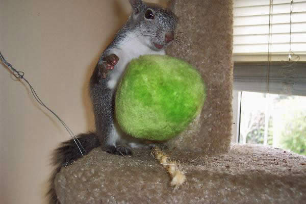 Squirrel Playing with a Ball
