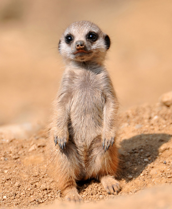 20 pictures of adorable and cute baby meerkats furry talk for Top pictures of the day
