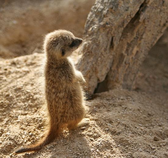 Small Meerkat Cub