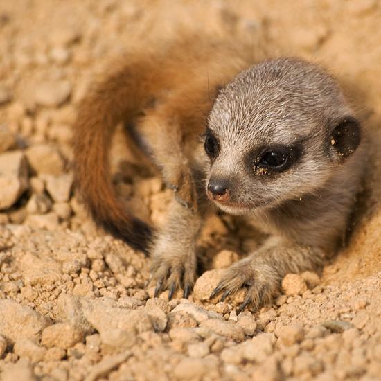 Furry Baby Meerkat