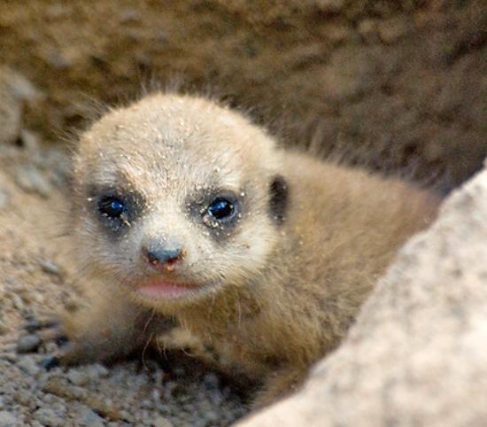 Curious Baby Meerkat