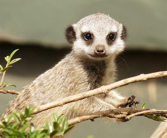 Sweet Baby Meerkat Picture