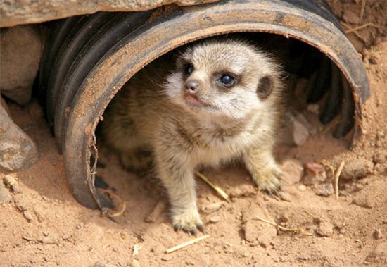 Shy Little Baby Meerkat