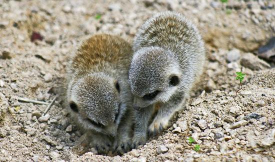 Baby Meerkats Digging