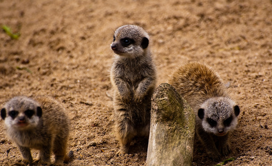 Tiny Baby Meerkats