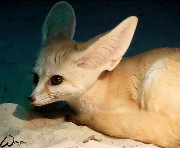 Fennec Fox: Blue Thoughts