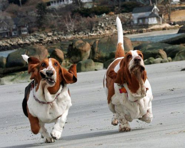 Funny Basset Hounds Running