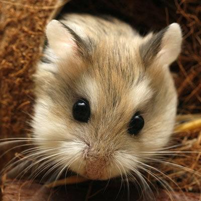 Hamster VIII