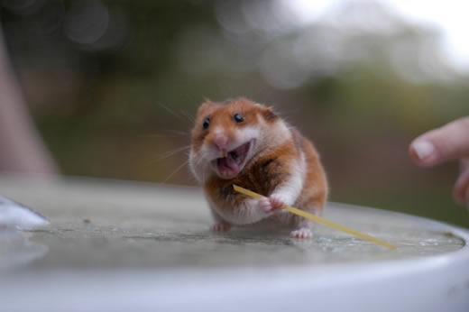 Ninja Hamster
