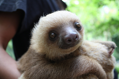 Baby 2-toed Sloth
