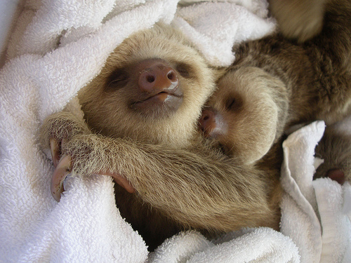 Napping Sloth Babies