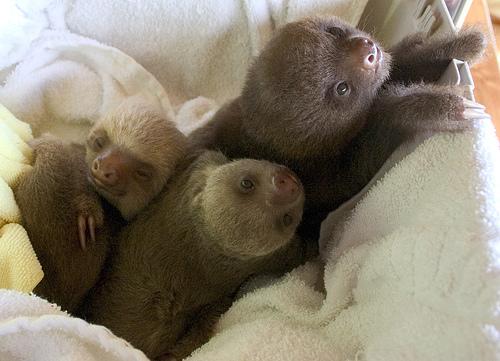 3 Sloth Babies