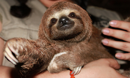 Three-toed Baby Sloth