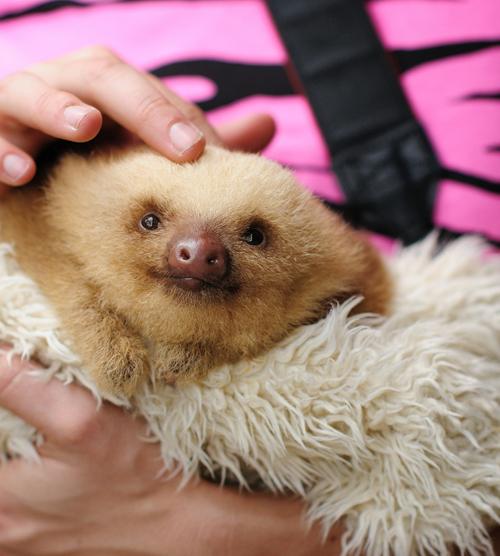 Fluffy Baby Sloth