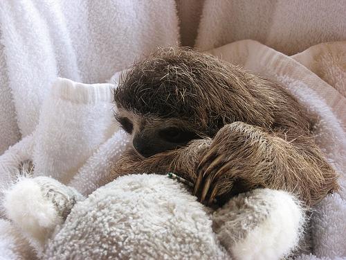 Furry Baby Sloth