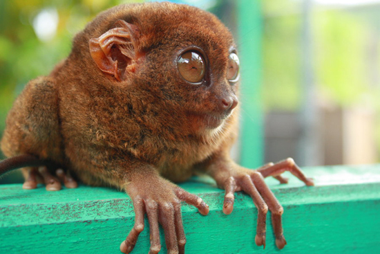 Mr. Tarsier