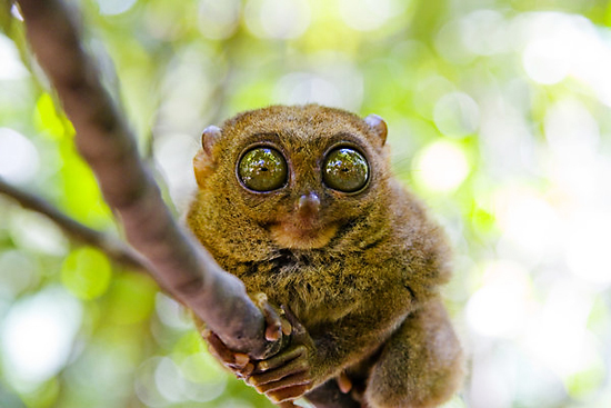 A Tarsier on His Branch
