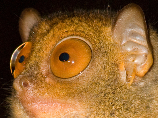 Tarsier Eyes